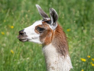 Llama Animal Mammal Llama Ears  - Pezibear / Pixabay